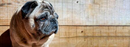 Portrait pug carlino mop pure breed wood background closeup Фото со стока - 129992118