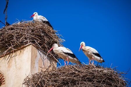 Group of stork in their nest in beel tower