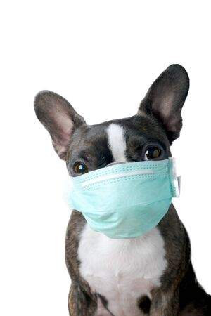 Portrait boston terrier dog with medical doctor mask pure breed white background Stock Photo