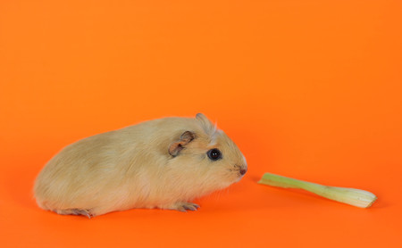 Guinea pig on a orange background with celery.