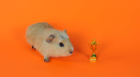Guinea pig on an orange background with cup winner