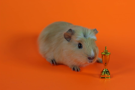 Guinea pig on an orange background with cup winner. Imagens