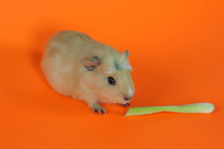 Guinea pig on a orange background with celery