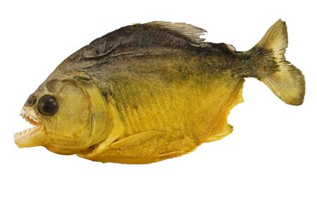 terrifying: Close-up of piranha, carnivore fish indigenous of South America, isolated on white background