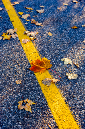 yellow line: Maple leaves scattered around a yellow road line