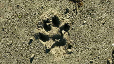 print: Imprint of a dog paw in sand