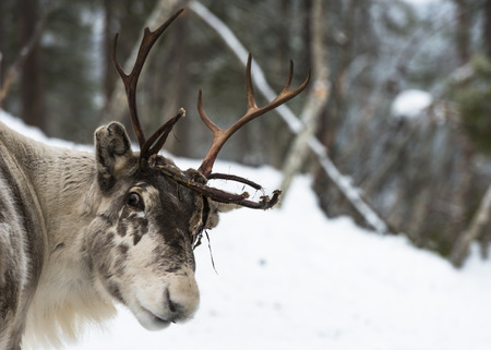 Reindeer in Finland in the winter