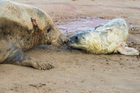 donna: Newly born grey seal pup Halichoerus grypus on the beach with its mother, Donna Nook, UK
