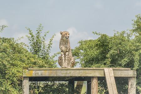 jubatus: Cheetah Acinonyx jubatus Stock Photo