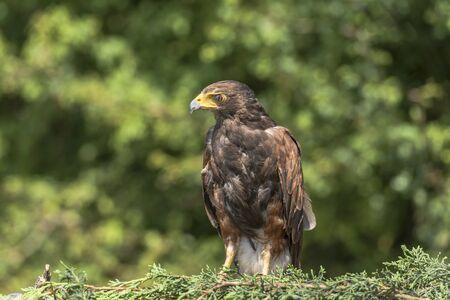 feathering: Harris Hawk, Parabuteo unicinctu