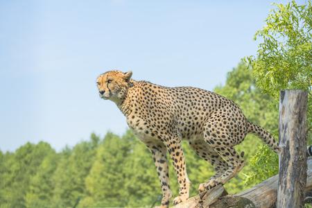 acinonyx: Cheetah Acinonyx jubatus Stock Photo