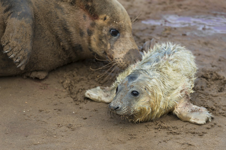 donna: Newly born grey seal pup Halichoerus grypus on the beach with its mother in the background, Donna Nook, UK