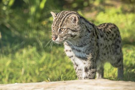 prionailurus: Fishing cat Prionailurus viverrinus