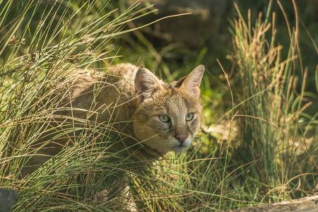 Jungle cat Felis chaus