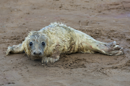 donna: Newly born grey seal pup Halichoerus grypus on the beach in Donna Nook, UK Stock Photo