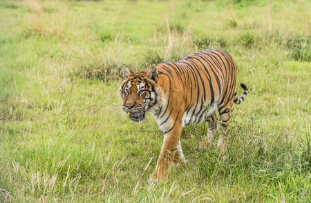tiger page: Bengal tiger Stock Photo