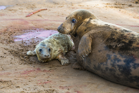 donna: New born grey seal pup Halichoerus grypus on the beach with its mother, Donna Nook, UK Stock Photo