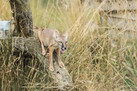 elusive: Corsac fox,vulpes corsac Stock Photo