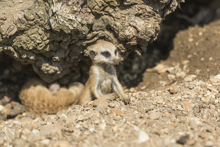 curiously: Young meerkat peering curiously out