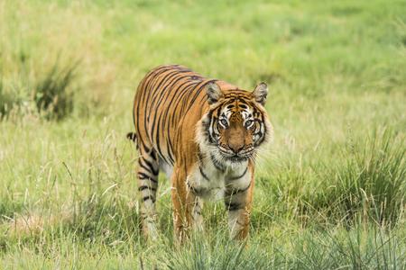 siberian tiger: Bengal tiger Stock Photo