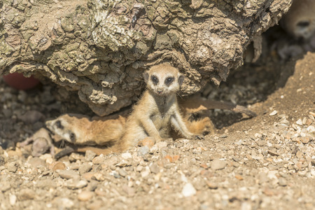 peering: Young meerkat peering curiously out