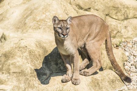 prowling: Puma Felis Concolor