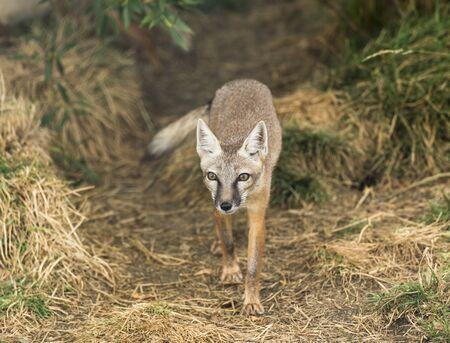 elusive: Corsac fox, vulpes corsac