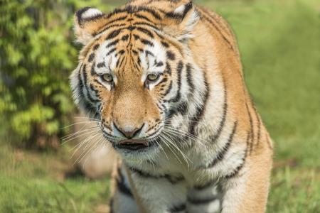 amur: Amur Tiger Panthera tigris altaica
