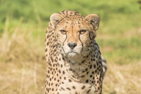 Cheetah Acinonyx jubatus Stockfoto