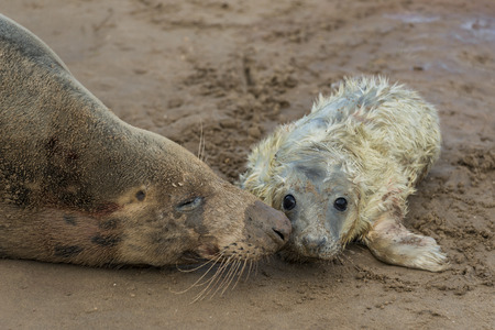 nook: Newly born grey seal pup Halichoerus grypus on the beach with its mother, Donna Nook, UK