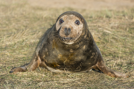 donna: Grey seal pup Halichoerus grypus on the beach in Donna Nook, UK
