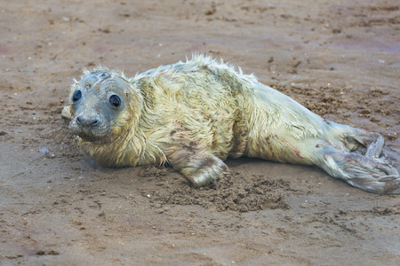 nook: Newly born grey seal pup Halichoerus grypus on the beach in Donna Nook, UK Stock Photo