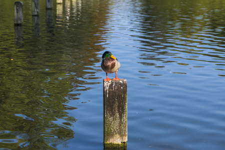 hyde: A duck perched on a wooden post on the lake in Hyde Park