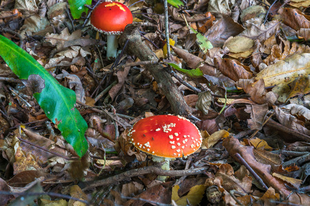 muscaria: Two red mushrooms - Fly agaric (Amanita muscaria) - in the forest - close-up Stock Photo