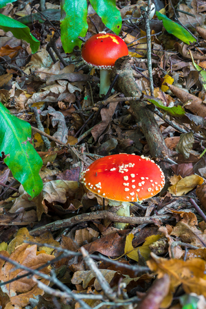 fly agaric: Two red mushrooms - Fly agaric (Amanita muscaria) - in the forest - close-up Stock Photo