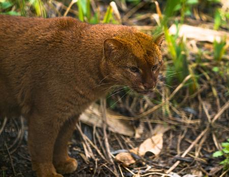 Jaguarundi (Puma yagouaroundi),  or eyra is a small wild cat native to southern North America and South America. 스톡 콘텐츠