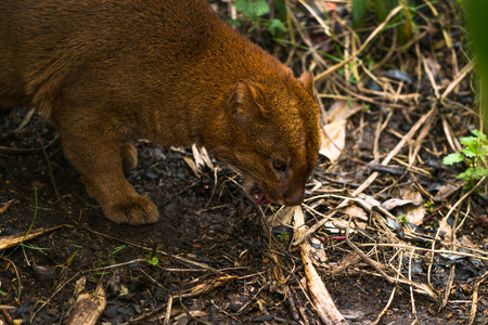 Jaguarundi (Puma yagouaroundi),  or eyra is a small wild cat native to southern North America and South America. Stock Photo