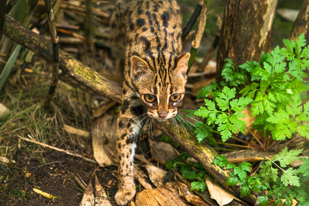 Leopard cat ( Prionailurus bengalensis) a small wild cat native to continental South, Southeast and East Asia Stock Photo