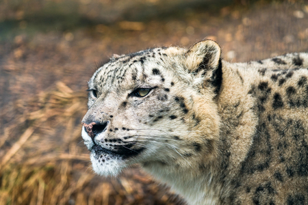 Snow leopard (Panthera uncia), a large cat native to the mountain ranges of Central and South Asia.