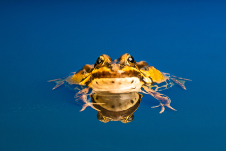 Common European frog (Pelophylax kl. esculentus), also known as the common water frog, green frog or edible frog. Stock Photo