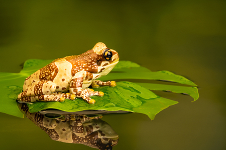 Amazon milk frog (Trachycephalus resinifictrix) is a large species of arboreal frog native to the Amazon Rainforest in South America. Stock Photo