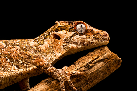 Gargoyle gecko (Rhacodactylus auriculatus) or New Caledonian bumpy gecko is a species of gecko found only on the southern end of New Caledonia island.