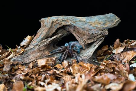 Chilean hair rose tarantula (Grammostola rosea) - closeup with selective focus