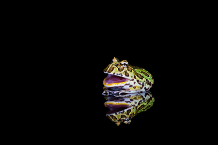 Rana cornuda argentina (Ceratophrys ornata) con reflexión sobre backgrond negro - primer plano con enfoque selectivo Foto de archivo