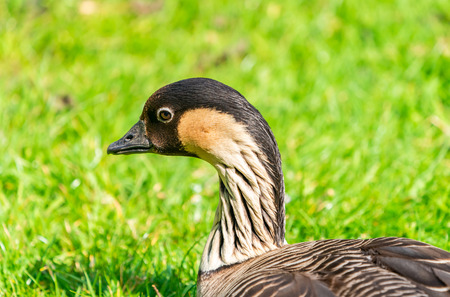 Portrait of Hawaiian goose - also known as Nene (Branta sandvicensis) - on a lawn - closeup with selective focus