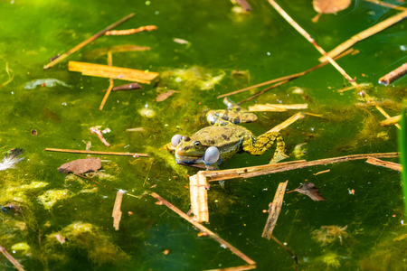 Marsh frog (Pelophylax ridibundus) sitting in a pond croaking with inflated vocal sacs - closeup with selective focus