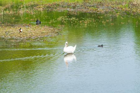 White (mute) swan (Cygnus olor) on a lake Reklamní fotografie - 121818657