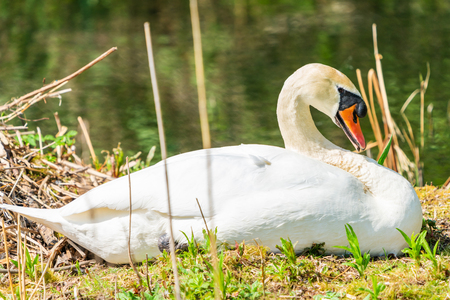 White (mute) swan (Cygnus olor) resting on a shore by the pond