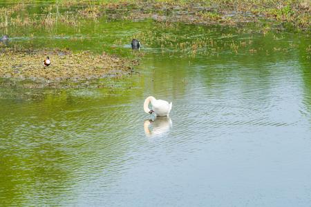 White (mute) swan (Cygnus olor) on a lake Reklamní fotografie - 121820586