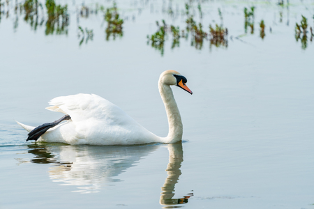 White (mute) swan (Cygnus olor) on a pond